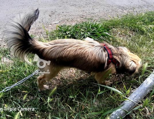 سگ نژاد پامراشپیتز ماده یکساله در گروه خرید و فروش ورزش فرهنگ فراغت در مازندران در شیپور-عکس3