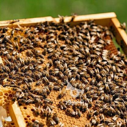 فروش زنبور عسل در گروه خرید و فروش صنعتی، اداری و تجاری در آذربایجان غربی در شیپور-عکس1
