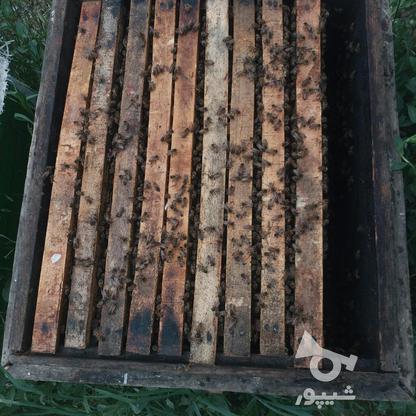 فروش زنبور عسل در گروه خرید و فروش صنعتی، اداری و تجاری در آذربایجان غربی در شیپور-عکس2