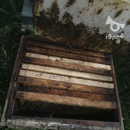 فروش زنبور عسل در گروه خرید و فروش صنعتی، اداری و تجاری در آذربایجان غربی در شیپور-عکس3