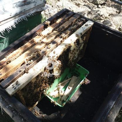 فروش زنبور عسل در گروه خرید و فروش صنعتی، اداری و تجاری در آذربایجان غربی در شیپور-عکس4