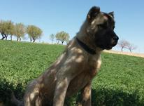 سگ سراب یک یک  در شیپور-عکس کوچک