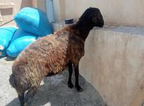 قوچ 3 سال افشار در شیپور-عکس کوچک