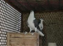 کبوتر غلاق و سیاه پشت در شیپور-عکس کوچک