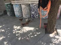 مرغ وخروس کشاورزی در شیپور-عکس کوچک