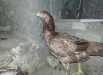 مرغ لاری جوان در شیپور-عکس کوچک