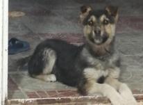 سگ ژرمن هف رنگ اصیل در شیپور-عکس کوچک