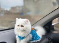 گربه پرشین سوپرفلت در شیپور-عکس کوچک
