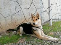 سگ ژرمن فروش و معاوضه  در شیپور-عکس کوچک