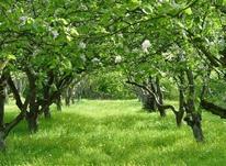 1500مترباغ،درختان15ساله،80متربنا تک خواب بولوار توس در شیپور-عکس کوچک