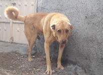 سگ عراقی قوی در شیپور-عکس کوچک
