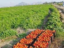 اجاره 2 هکتار نیم زمین کشاورزی به همراه چاه اب  در شیپور