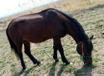اسب کوردی 8ساله سواری باری  در شیپور-عکس کوچک
