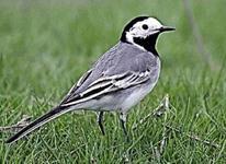 پرنده زیبا در شیپور-عکس کوچک