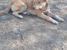 سگ گم شده هاسکی گرگی در شیپور