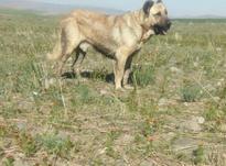سگ         سرابی   در شیپور-عکس کوچک