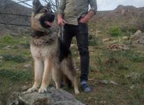 سگ ژرمن ماده در شیپور-عکس کوچک