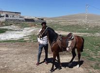 اسب نریون سه نشون در شیپور-عکس کوچک