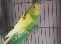 مرغ عشق هفت رنگ در شیپور-عکس کوچک