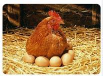 فروش جوجه مرغ محلی در شیپور-عکس کوچک