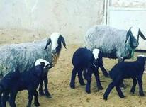 خریدار گوسفند شال با بره در شیپور-عکس کوچک