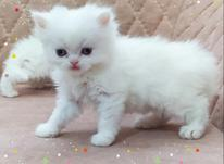 توله گربه پرشین در شیپور-عکس کوچک