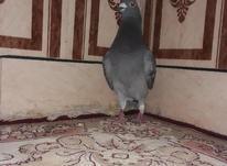 کبوتر چهی نر  در شیپور-عکس کوچک