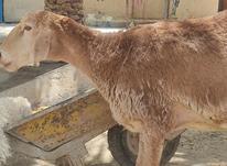 میش قندوزی اصل در شیپور-عکس کوچک