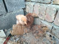 سه عدد جوجه محلی سالم در شیپور-عکس کوچک
