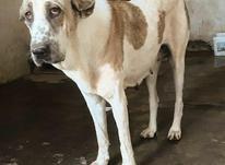سگ ماده پژدر عراقی اصیل در شیپور-عکس کوچک
