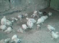 فروش مرغ یوسل بلژیکی مینیاتور  در شیپور-عکس کوچک