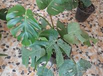 گل آپارتمانی برگ انجیری در شیپور-عکس کوچک