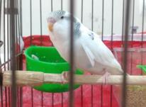 3عدد مرغ عشق جوان وکاملا رام ودستی. در شیپور-عکس کوچک