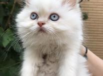 گربه پرشین سفید اصل در شیپور-عکس کوچک