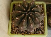 انواع کاکتوس در شیپور-عکس کوچک