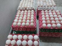 فروش تخم نطفه داربوقلمون بوربن با تضمین گله قابل رویت در شیپور