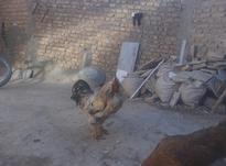 خروس محلی جوان   در شیپور-عکس کوچک