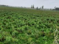 فروش زمین کشاورزی 5500 متر در نور در شیپور