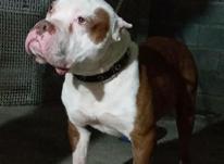 سگ پیت بول در شیپور-عکس کوچک