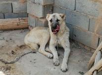 سگ_کاشمر__ در شیپور-عکس کوچک