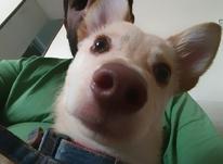 کوتاهی موی سگ در شیپور-عکس کوچک