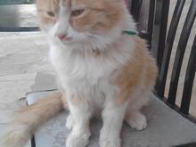 گربه پرشین  در شیپور