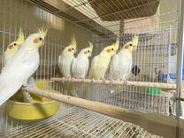 سه جفت طوطی عروس لوتینو در شیپور