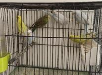 مرغ عشق زیبا وسالم در شیپور-عکس کوچک