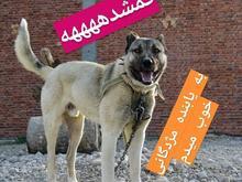 سگ گمشده یا دزدیده شده در شیپور