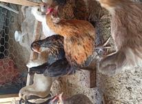 فروش مرغ پاکوتاه در شیپور-عکس کوچک