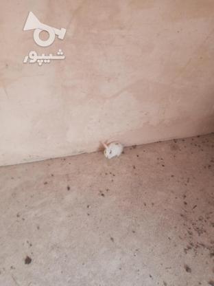 خرگوش فروشی در گروه خرید و فروش ورزش فرهنگ فراغت در خراسان رضوی در شیپور-عکس3
