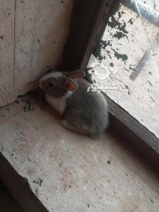 خرگوش فروشی در گروه خرید و فروش ورزش فرهنگ فراغت در خراسان رضوی در شیپور-عکس1