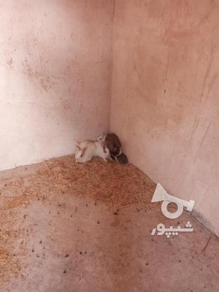خرگوش فروشی در گروه خرید و فروش ورزش فرهنگ فراغت در خراسان رضوی در شیپور-عکس2