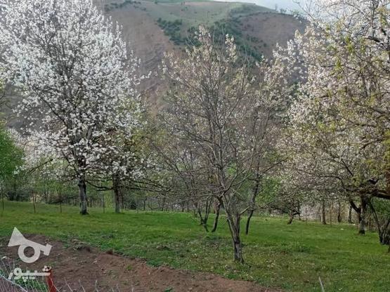 فروش زمین مسکونی 500 متر در رضوانشهر در گروه خرید و فروش املاک در گیلان در شیپور-عکس4